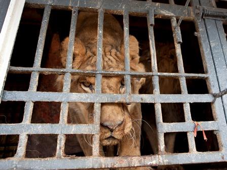 leon maltratado por circo