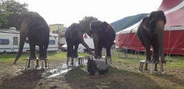 La Unión Europea debe prohibir los animales salvajes en los circos