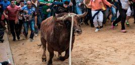 Un año más se celebra el toro enmaromado de Benavente (Zamora)