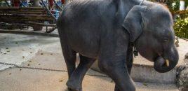 Muere Dumbo, un bebé elefante al que forzaron en Tailandia a bailar y hacer trucos