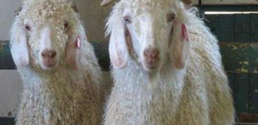H&M , ZARA y otras cadenas de ropa prohíben los productos de mohair después de una investigación que revela crueldad animal.