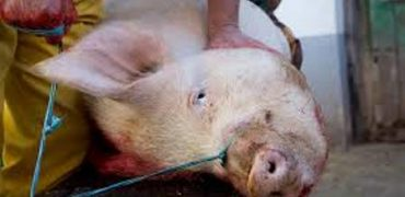 matanza de un cerdo en el patio de un Centro Integrado de Formación Profesional.
