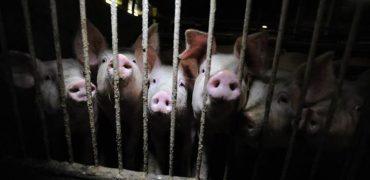 ANDA, aplaude la aprobación del Nuevo Real Decreto del sector porcino por su potencial para mejorar el bienestar de los animales