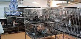 FAPAM y ANAA  se hacen cargo de los 270 chihuahuas incautados por la Policía Nacional y se personan como acusación particular en la causa judicial. FAPAM y ANAA colaboran con el dispositivo policial