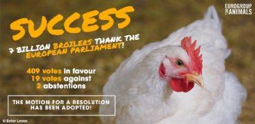 El Parlamento Europeo urge a la Comisión Europea para que mejore el bienestar de los pollos de engorde.