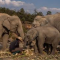El maltrato animal termina por el coronavirus: liberan a 78 elefantes por falta de turistas