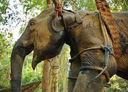 Elefantes en países como India o Tailandia son explotados y maltratados