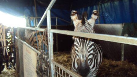 EN GALES SE PROHIBIRÁ DEFINITAVAMENTE LA UTILIZACIÓN DE ANIMALES EN CIRCOS