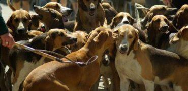 jauria perros caza