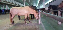 Mercado de caballos de San Andrés, León