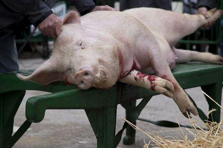 PALENCIA. Multan al Ayuntamiento de Villada por realizar matanzas del cerdo como espectáculo público.