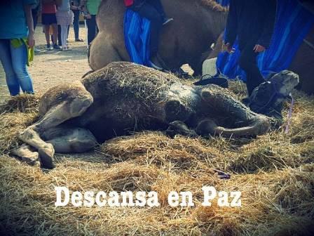 NUEVO CASO DE MALTRATO ANIMAL. Muere un dromedario que ha sido utilizado en el Mercado Medieval de Alcalá de Henares.