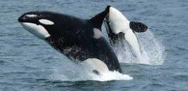 Canadá aprueba una ley que prohíbe tener ballenas y delfines en cautiverio