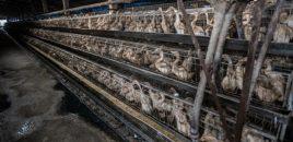 La importación de huevos de patos de Taiwán implicará terribles condiciones de vida para cientos de miles de animales