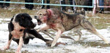 La Fiscalía pide 38 años de cárcel para ocho miembros de una red nacional que organizaba peleas de perros en Canarias