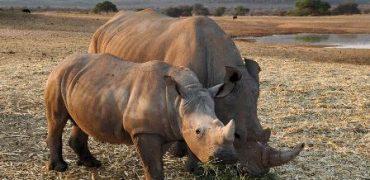 China legaliza el uso de cuernos de rinoceronte y huesos de tigre.