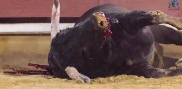 Impactante vídeo de la cruda verdad de la primera feria taurina Post-Covid: una carnicería y un absoluto fracaso