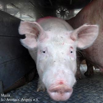 La UE recomienda a los Estados miembros que no se permita la amputación de los rabos a los cerdos