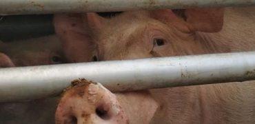 El sufrimiento de los animales durante el transporte, a juicio
