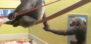 chimpance AAP