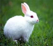 conejo experimentación animal