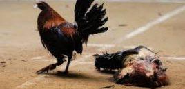 Más de 200 detenidos de varias Comunidades en Murcia en una operación contra las peleas ilegales de gallos