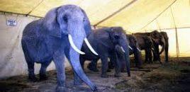 ¡Kiev, la capital de Ucrania, se declara libre de circos con animales!