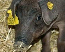 La protección animal corre peligro con los tratados comerciales que negocian Europa y Norteamérica