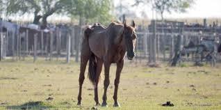 Alarma ante el maltrato de yeguas gestantes utilizadas para la producción de una hormona empleada por la ganadería europea.