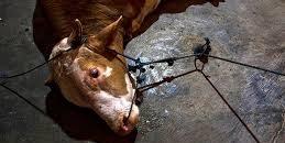 Bélgica prohíbe el sacrificio en mataderos sin aturdimiento previo