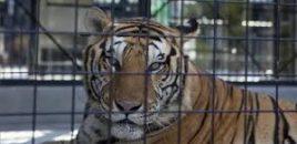 El alcalde de una ciudad en el sur de Rusia ha prohibido los circos que usan animales salvajes