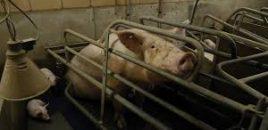 Más de 160 organizaciones piden a los nuevos líderes de la UE que pongan fin a la cría de animales en jaulas mediante una carta abierta