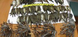 Dos investigados en Jaén por cazar con artes prohibidas cerca de 50 pajarillos protegidos con trampas