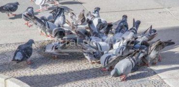 El Ayuntamiento de Cádiz alimentará a las palomas con piensos anticonceptivos