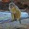 Bioparc acoge un nuevo grupo del mono más pequeño de África