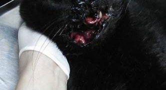 gato petardo boca