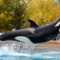 Canadá prohíbe el cautiverio de ballenas, delfines y marsopas