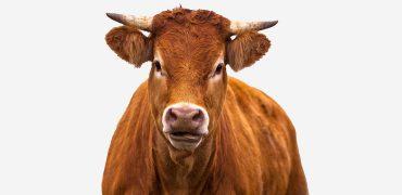 4_cowweb