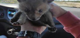 Intervienen una cría de zorro en Alicante que se vendía en internet por 550 euros