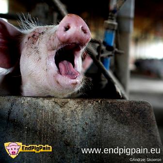 PRIMEROS ÉXITOS DE LA CAMPAÑA END PIG PAIN: EL MAPAMA RECONOCE EL PROBLEMA Y DA LOS PRIMEROS PASOS PARA SOLUCIONARLO