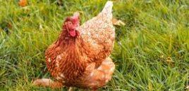 Publicado el nuevo Real Decreto sobre ordenación de granjas avícolas