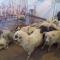 La pesadilla se hace realidad para las ovejas rumanas exportadas al Golfo Pérsico