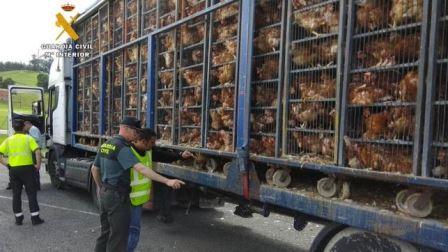 Investigado por maltrato animal al transportar 8.000 gallinas en un camión.