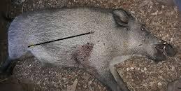 La Comunidad de Madrid autoriza una batida de jabalíes bajo la modalidad de caza de tiro con arco en San Sebastián de los Reyes (Madrid)