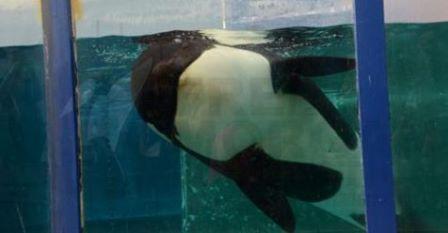 Nace en cautividad la cría de la orca Morgan.