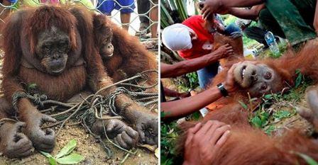 ¡Aberración! En algunos lugares del sur de Asia usan orangutanes como esclavas sexuales