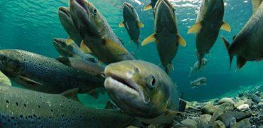 La comercialización del salmón manipulado genéticamente