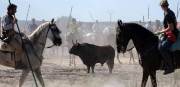 ¡UNA GRAN NOTICIA! El TSJ rechaza el recurso de Tordesillas contra la sentencia sobre el Toro de la Vega.