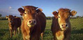 ANDA participa en el proyecto de Ordenación de las granjas de ganado bovino