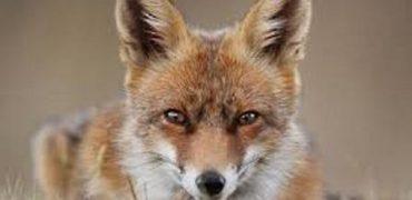 caza zorro galicia